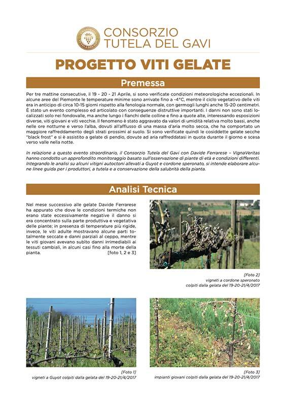 Progetto Vite Gelate - Consorzio Tutela del Gavi